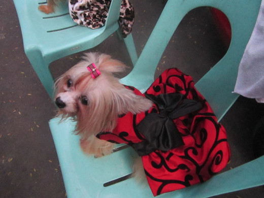 Red and black is always a ravishing combination, more so with this flouncy black silk bow tying in the strong red color with the beautiful black curve print design. This dog is ready for the flamenco.