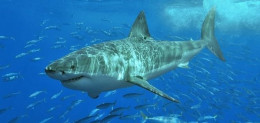 Something recently killed and ate a 9 foot Great White Shark. Was it Megalodon that ate the shark.