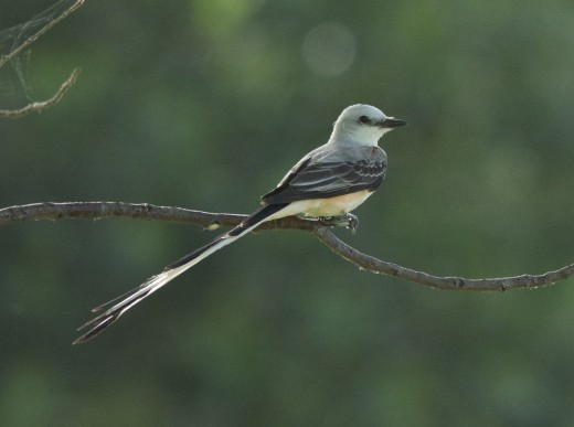 Backlit Scissor-tailed Flycatcher