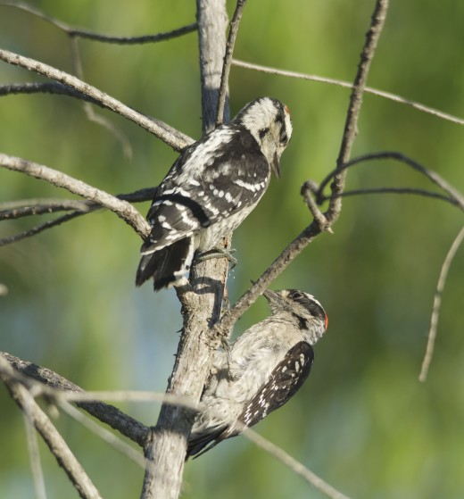 Immature Downy Woodpeckers