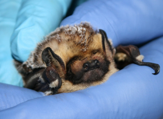 A soft, cuddly (and clean) Hoary bat.