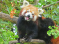 Red Panda: Possibly the world's cutest animals