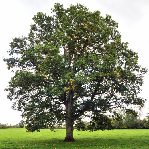 A mighty oak? Or a fleshed-out character? You decide!
