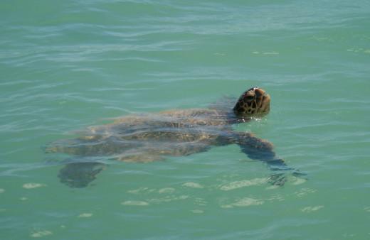 Waikiki sea turtle
