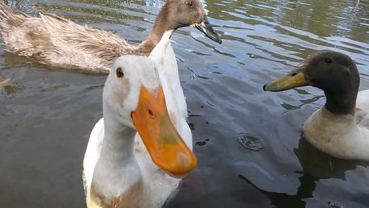 "White Mallard ""Cool Duck"" at Francis Short Pond"