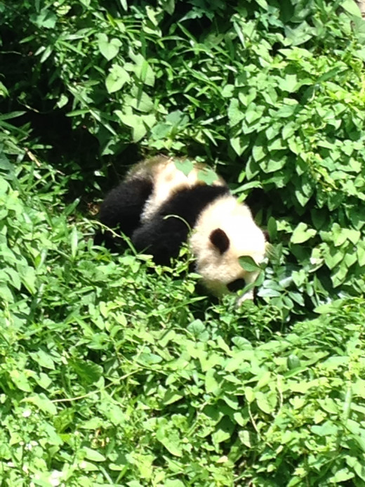 THE MARCH OF THE BABY PANDA