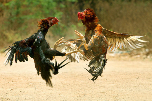 Cock fights are one of the most common forms of illegal animal fights, and often result in severely injured or dead animals.