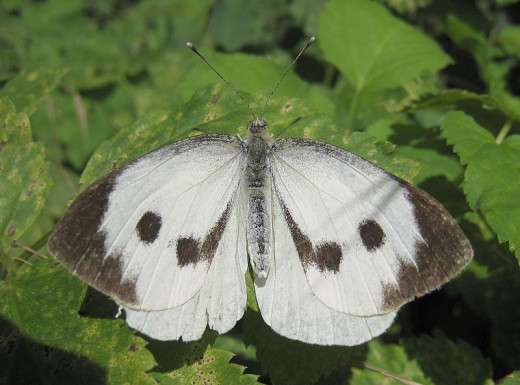 Adult cabbage white butterfly (Pieris brassicae)