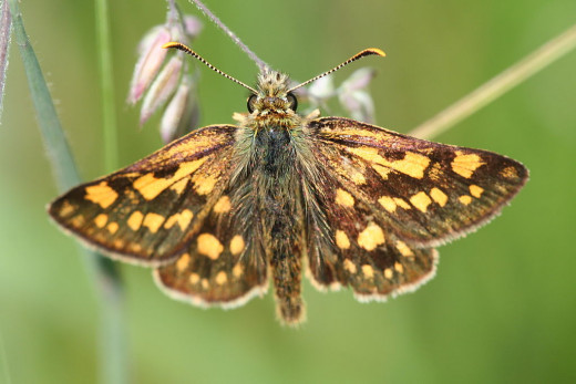 Chequered skipper butterfly (Carterocephalus palaemon)