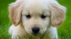 Eight Reasons Why Golden Retrievers Are The Best Dogs To Have As Part of Your Family.