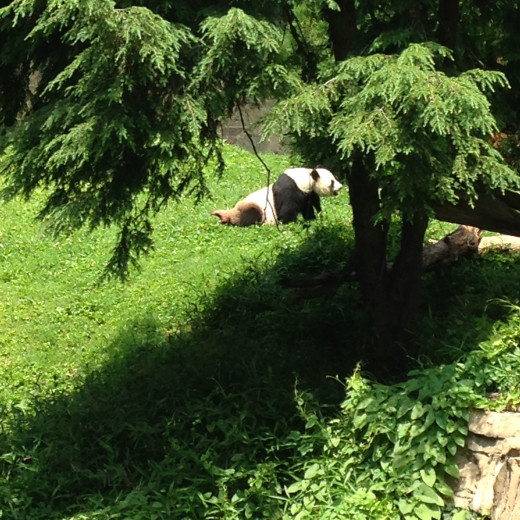 MAMA PANDA CAME OUT FOR A STROLL