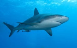 Sharks have tails made of cartilage, not bone.