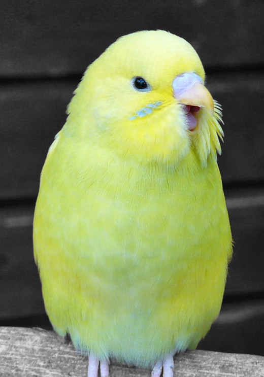 A young budgie yawning