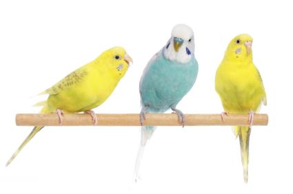 Three budgies on a perch.