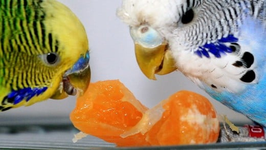 Two healthy budgies sharing a tangerine.