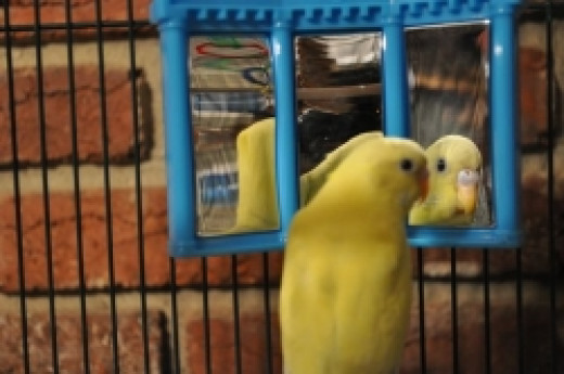 A budgie admiring itself in its mirror.