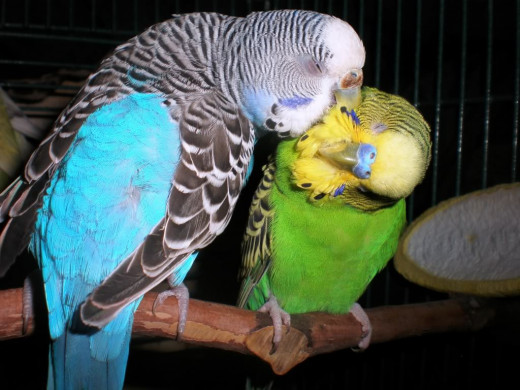 Two budgies preening on a natural perch.