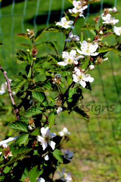 Blackberry Bushes: Transplanting