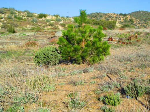 A little pine tree.