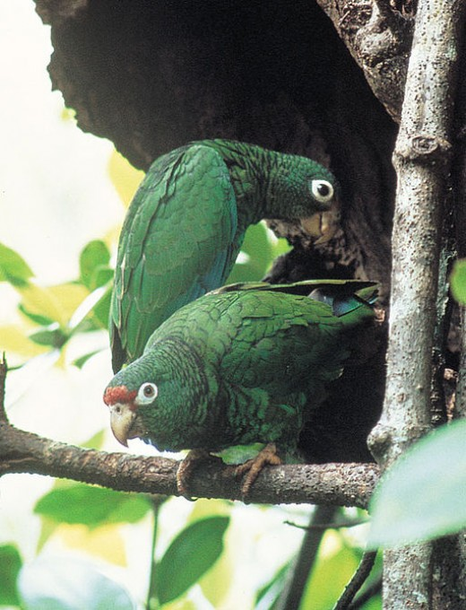 Puerto Rican Parrots