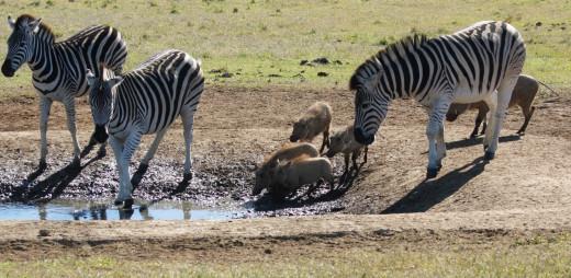 Zebra and Warthog at water hole
