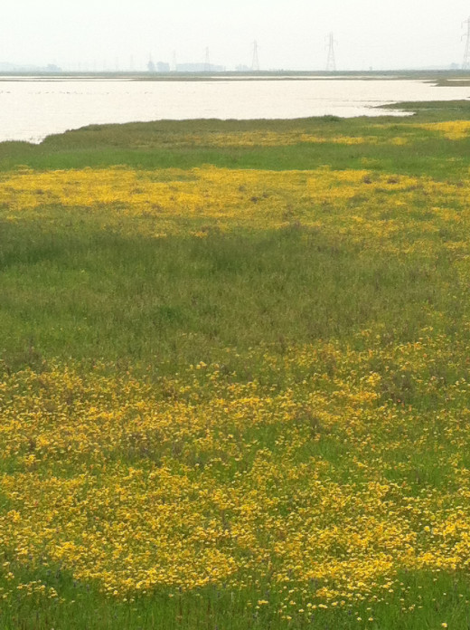 The magic of Jepson's prairie is seen in the rich diversity of plants that exist here because of the vernal pools.