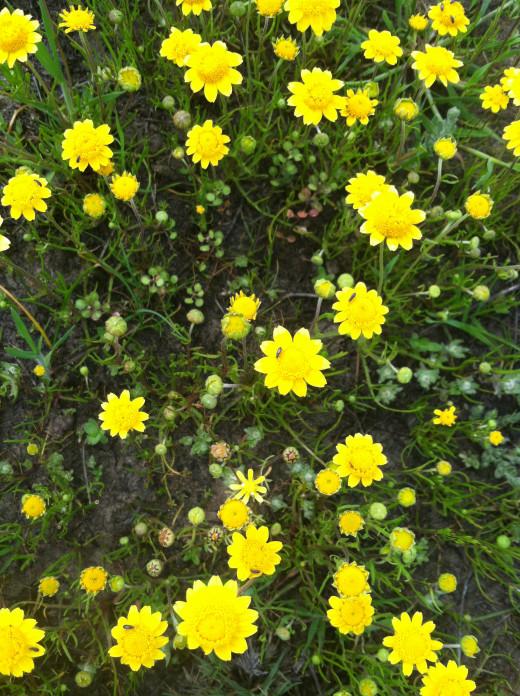 Lasthenia fremontii -Fremont's goldfields.