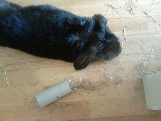 panned out, with ears falling to the ground and tummy exposed, this means your bunny is truly relaxed.