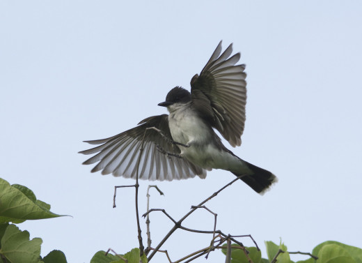 Eastern Kingbird Coming in For a Landing