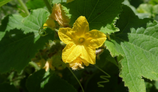 Cucumber bloom.