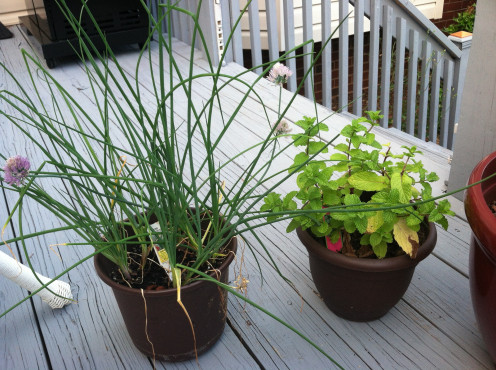 June 20: Chives on left and sweet mint on right.