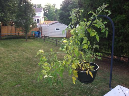 June 20: Hanging cherry tomato.