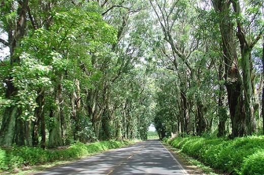 Eucalyptus Tree Tunnel
