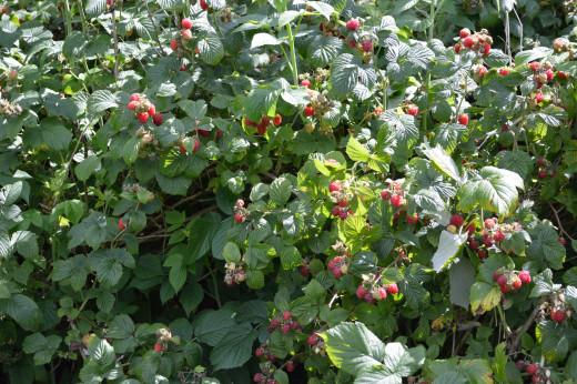 Rasberry smoothies anyone?