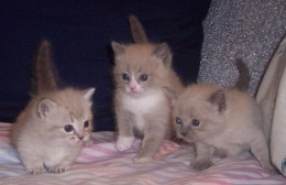 To the far right a kitten with achondroplasia stands next to her two standard siblings.