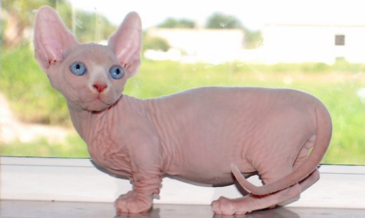 Furless Munchkins are often called Minskins or Bambinos.