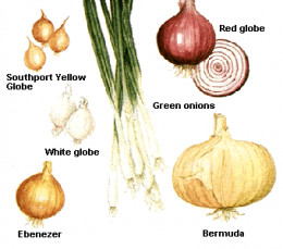 Onions are native to central Asia and have been cultivated for more than 4,000 years. They are raised throughout temperate and semitropical regions of ..