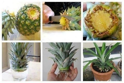 Have you ever tried to re-grow pineapple after using it? Follow the simple pictoral instruction if you want to try it.