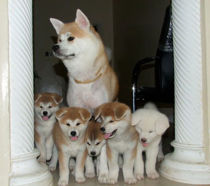 An Akita with her litter of puppies