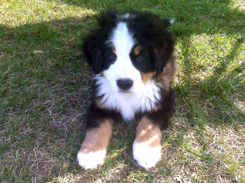 A Bernese Mountain Dog puppy