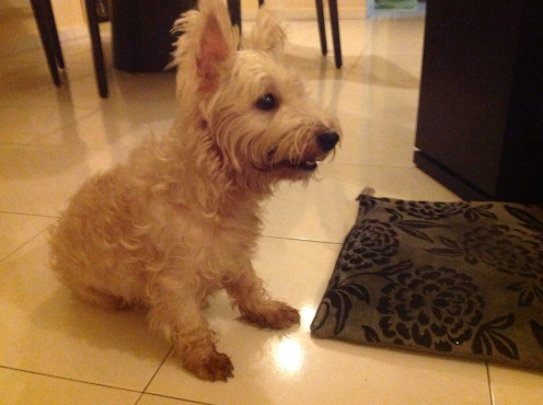 My West Highland White Terrier, Cloudy.