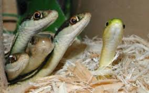 Baby Cobras Caught And Killed For Medicine In Bangalore