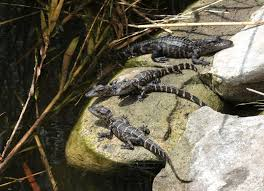 Crocodiles And Alligators Love The Sun