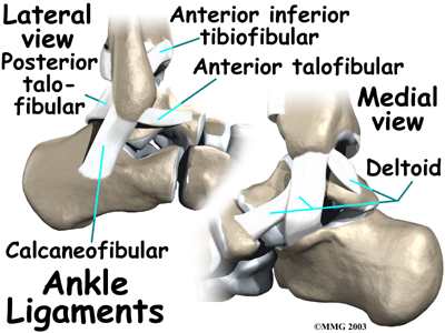 Ligaments of the ankle.
