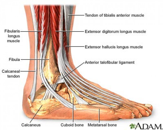 Muscles of the ankle