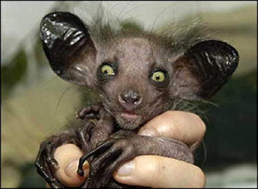 Aye-Aye of Madagascar