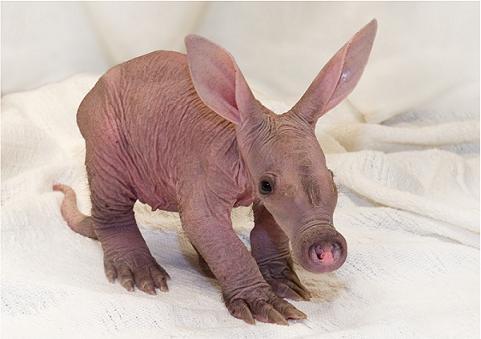 Baby Aardvark