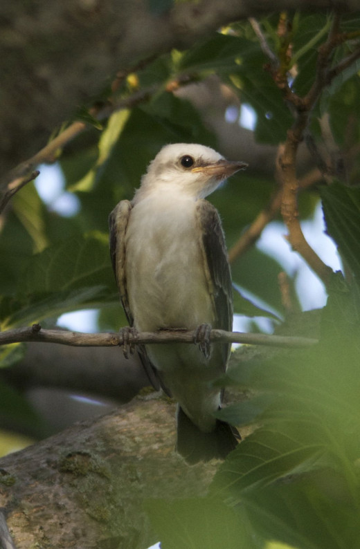 Young Scissor-tailed Flycatcher