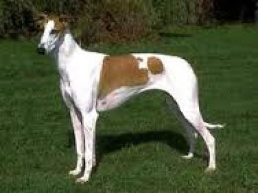 Soriala Greyhound (extn. Royal Rampur Greyhound)