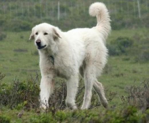 White Kashmiri Sheep Dog